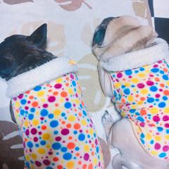 pug/French/dog/ブサカワ PEACE/pug(9) WISH/Fr…
