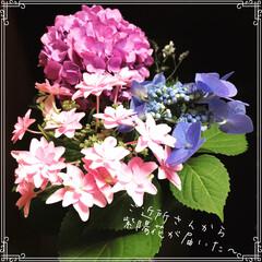 花/住まい/紫陽花/梅雨 ★ ご近所さんからの おすそ分け💕 ★