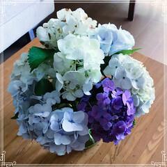 紫陽花/グリーン/花 紫陽花 ★ 色々種類を寄せてみたー😊