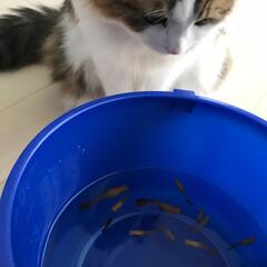 スコティッシュフォールド/グッピー/淡水魚/猫/ペット グッピーを見つめるさくちゃん(゚ω゚) …(1枚目)