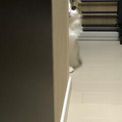 階段下収納/スコティッシュフォールド/猫 呼んでも居ない時は階段下収納にいます☺︎…