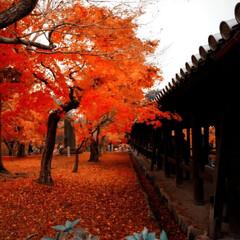 もみじ狩り/紅葉スポット/紅葉/京都観光地/京都観光/朱色/... 去年の京都  真っ赤な紅葉が鮮やかでした