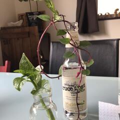 水栽培/ダイソーアイテム/ダイソーパトロール/ダイソー大好き/新発売アイテム/近所のダイソー 水栽培にチャレンジ中… 瓶も可愛い