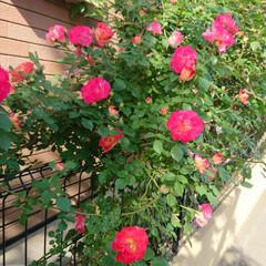住まい ピンクと赤も咲きました🌹