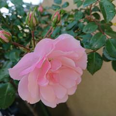 バラのある暮らし/ガーデニング/暮らし 次々と咲く我が家のバラ🌹