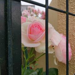 バラのある暮らし/ガーデニング/暮らし 綺麗に咲いてくれました🌹