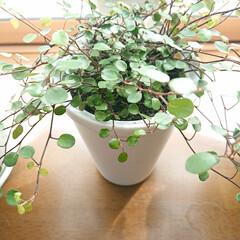 観葉植物のある暮らし/暮らし ゲットしました🌱欲しかったワイヤープラン…