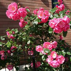ガーデニング/暮らし/バラのある暮らし アンジェラも満開です🌹