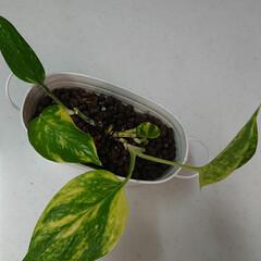 観葉植物のある暮らし/暮らし 切り戻したポトス、完全復活しました🌱