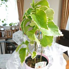 観葉植物のある暮らし/暮らし フリルみたいな可愛い観葉植物ゲットしまし…