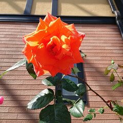 バラのある暮らし/ガーデニング/暮らし 次々と咲く我が家のバラ🌹(2枚目)