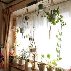 観葉植物のある暮らし/ハンドメイド/住まい/暮らし/手作りハンギング 切り戻して挿し木した観葉植物たちも、元気…