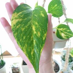 観葉植物のある暮らし/暮らし 挿し芽したポトスが、手より大きな葉をつけ…