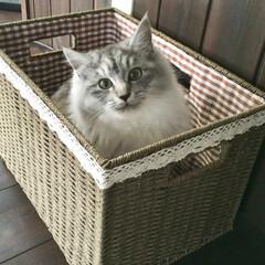 保護猫/猫 はぎ(2歳、女の子)、箱入り娘です♡笑 …
