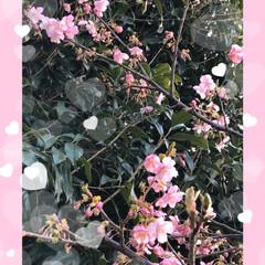 川津桜🌸 近所の公園の川津桜🌸が咲いていました。 …