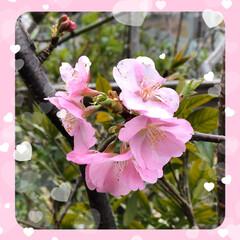 川津桜🌸 庭の川津桜🌸か咲きました😊 まだまだ満開…