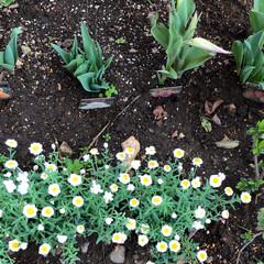 チューリップ/花かんざし/水仙/マーガレット/桃の花/庭の花/... おはようございます。 もう春ですね😊 庭…(6枚目)