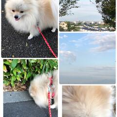 わんこ大好き/わんこ同好会/ひまわり🌻/お花/まりん/曇り空/... 今日のあ散歩です。 曇り空ですが、気持ち…