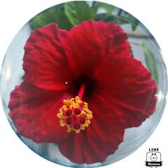 お花大好き/頑張ってる/ハイビスカス/フォロー大歓迎 ハイビスカス🌺が頑張って咲いています。