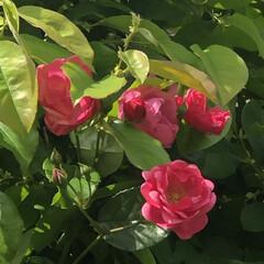 庭の花/今朝のまりん おはようございます♪ 今日は5月3日憲法…(4枚目)