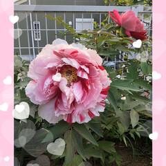 牡丹の花🌸/ご近所さん ご近所さん家の牡丹の花🌸 すごく大きく綺…