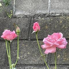 お花大好き/朝んぽ/まりん おはようございます♬ 梅雨明けから毎日暑…(2枚目)