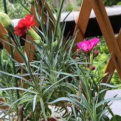 ベランダの花/ゼラニウム/カーネーション/木立性ベコニア/ハイビスカス黄色/ハイビスカスアドニスダブルピンク/... 今日は雨☔️が降ったりやんだりです。 久…(6枚目)