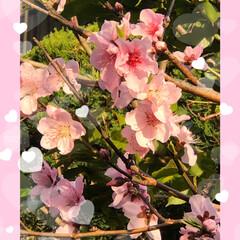 チューリップ/花かんざし/水仙/マーガレット/桃の花/庭の花/... おはようございます。 もう春ですね😊 庭…