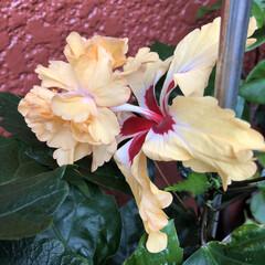ベランダの花/ゼラニウム/カーネーション/木立性ベコニア/ハイビスカス黄色/ハイビスカスアドニスダブルピンク/... 今日は雨☔️が降ったりやんだりです。 久…