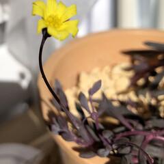 可愛い💕/ゼラニウムの新芽🌱/グリーンネックレス グリーンネックレスにお花が咲きました♪ …(1枚目)
