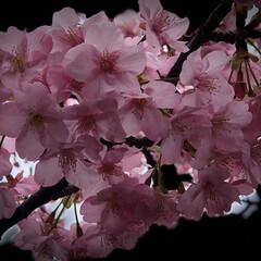 まりんぐるみ/まりん/お昼ご飯/川津桜🌸/三浦海岸桜祭り こんばんは。 昨日土曜日は三浦海岸の桜祭…(5枚目)