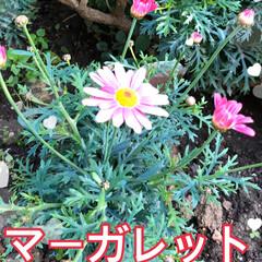 チューリップ/花かんざし/水仙/マーガレット/桃の花/庭の花/... おはようございます。 もう春ですね😊 庭…(2枚目)
