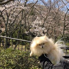 お花見🌸/3分咲き 昨日は、友達と一緒に久良岐公園までお花見…(5枚目)