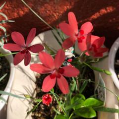 花/令和の一枚 シクラメンの種を植えたのに この花が咲き…