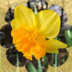 チューリップ/花かんざし/水仙/マーガレット/桃の花/庭の花/... おはようございます。 もう春ですね😊 庭…(3枚目)