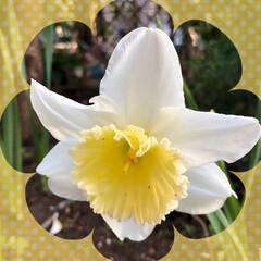 チューリップ/花かんざし/水仙/マーガレット/桃の花/庭の花/... おはようございます。 もう春ですね😊 庭…(4枚目)