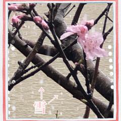 まりん/桃の花🌸/雨☔️から雪☃️ こんにちは😊 今日は雨☔️でしたが、先ほ…