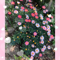 庭の花🌸/チューリップ/アザレアと花かんざし/マーガレット マーガレットが綺麗です😊 アザレアと花か…