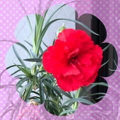 ベゴニア/カーネーション/母の日のプレゼント/花/フォロー大歓迎 娘から母の日のプレゼントのカーネーション…