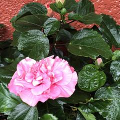 ベランダの花/ゼラニウム/カーネーション/木立性ベコニア/ハイビスカス黄色/ハイビスカスアドニスダブルピンク/... 今日は雨☔️が降ったりやんだりです。 久…(2枚目)