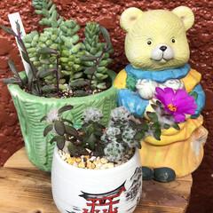多肉植物/お家園芸/花 今年6月に咲いたポーチュラカと 反対に枯…