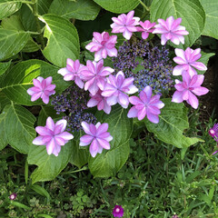 薔薇の花🌹/ひまわり/紫陽花 おはようございます。 紫陽花が綺麗な色に…