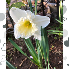 チューリップ/花かんざし/水仙/マーガレット/桃の花/庭の花/... おはようございます。 もう春ですね😊 庭…(5枚目)