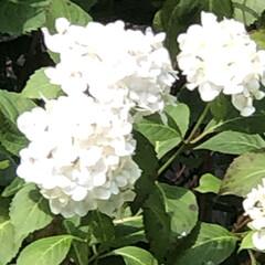 横浜開港記念日/木立葵/あ散歩/紫陽花/まりん おはようございます♬ お久しぶりです。 …(4枚目)