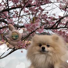 まりんぐるみ/まりん/お昼ご飯/川津桜🌸/三浦海岸桜祭り こんばんは。 昨日土曜日は三浦海岸の桜祭…(4枚目)