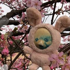 まりんぐるみ/まりん/お昼ご飯/川津桜🌸/三浦海岸桜祭り こんばんは。 昨日土曜日は三浦海岸の桜祭…(3枚目)