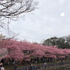 まりんぐるみ/まりん/お昼ご飯/川津桜🌸/三浦海岸桜祭り こんばんは。 昨日土曜日は三浦海岸の桜祭…(2枚目)