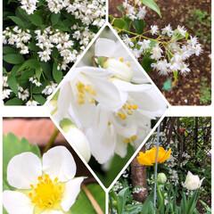 チューリップ🌷/いちご🍓/うつぎ/公園の花/我が家の花 我が家のうつぎと、公園に咲いていたお花は…(1枚目)