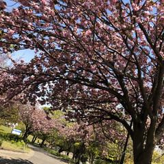 ガーゼのタオルで首輪に/ハーネス忘れる/八重桜/友達/まりん/公園でお散歩/... 今日はお天気が良かったので 久しぶりに友…
