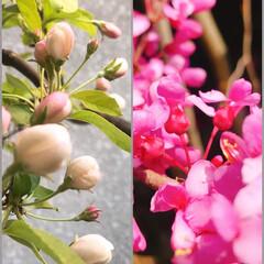 庭木/花の咲く木 庭の←姫林檎、→花蘇芳(はなずおう) ど…